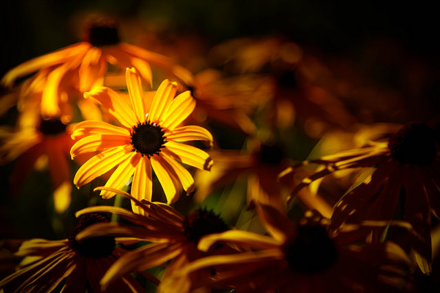 Black Eyed Susan Nothing Gold Can Stay How to Read a Poem