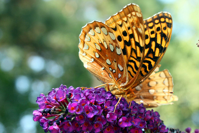 Butterfly Bush How to Read a Poem